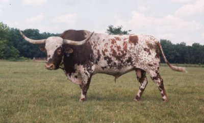 Wedding Texas Longhorn